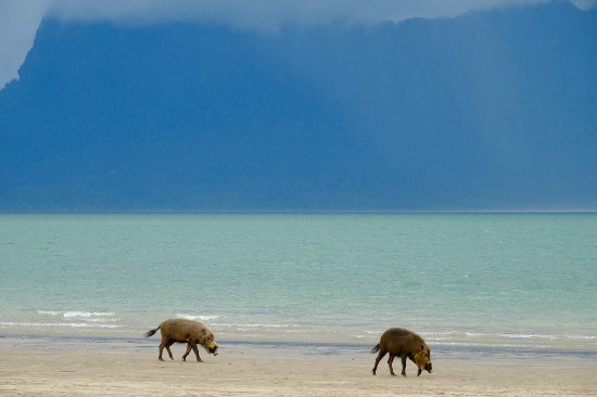Sarawak, Malaysia: Bearded Pigs foraging for food at Bako National Park's beach