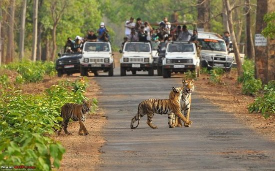 Chandrapur, Indien: Tadoba Tiger grown up cubs are entertaining to the tourist
