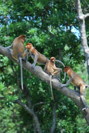 Sarawak, Malaysia: Group of Probosic Monkeys Bako National Park