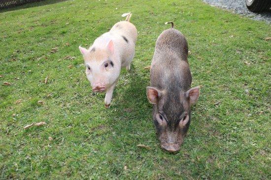 Ferienhof Obergasser & Pension Bergblick: Minischweine