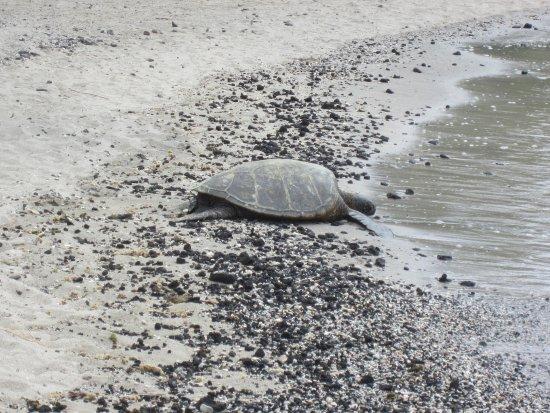 Kaloko-Honokohau National Historical Park: Our first turtle sighting on the big island