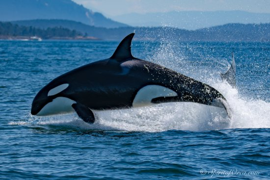 Spirit of Orca Whale and Wildlife Tours