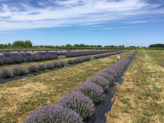 NEOB Lavender - Niagara Essential Oils & Blends: Best experience ever at NEOB:)