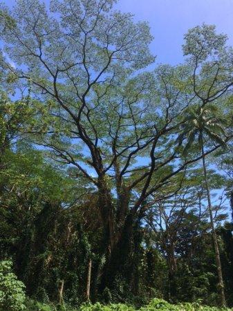 Manoa Falls Image