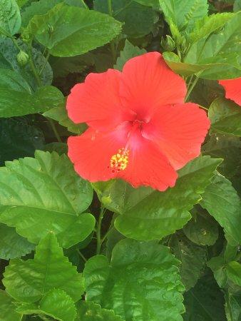 Hibiscus near pool! - Picture of Hilton Garden Inn Orange Beach ...