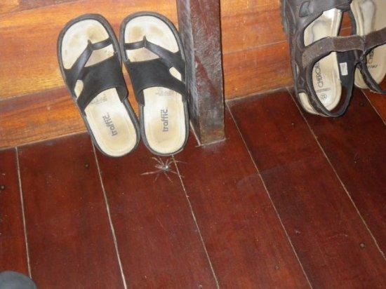 Manzanillo, Costa Rica: wondering spider