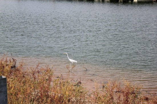 Kingston, OK: White heron on Lake