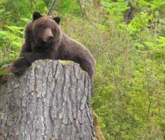 Icy Strait Lodge: Bears