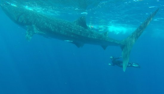 Whaleshark Tours: they are very big!