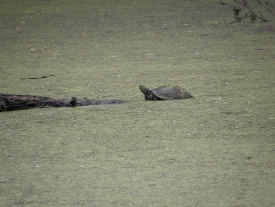 Lothian, MD: sunning turtle