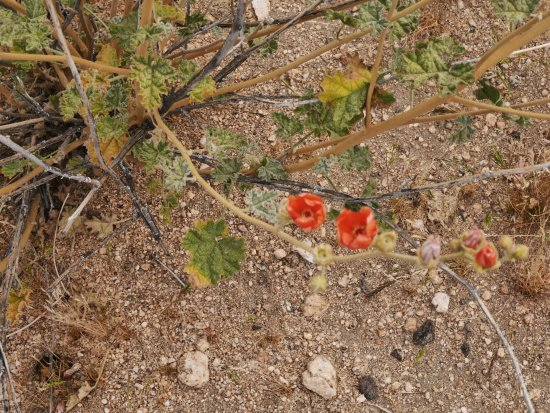 Black Rock Canyon Campground: RED FLOWERS