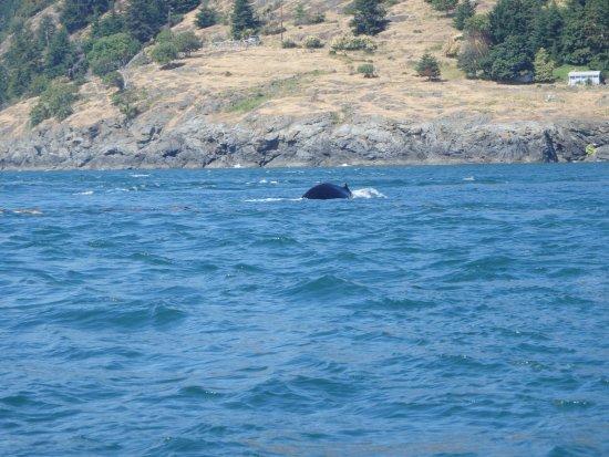 โควิชานเบย์, แคนาดา: humpback wall coming at you