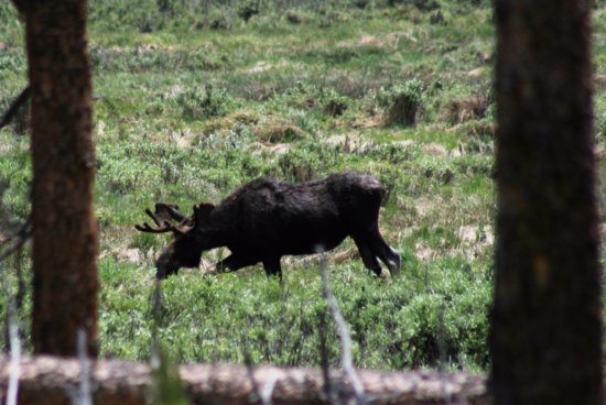 Drowsy Water Ranch: Moose during the guided Thursday hike