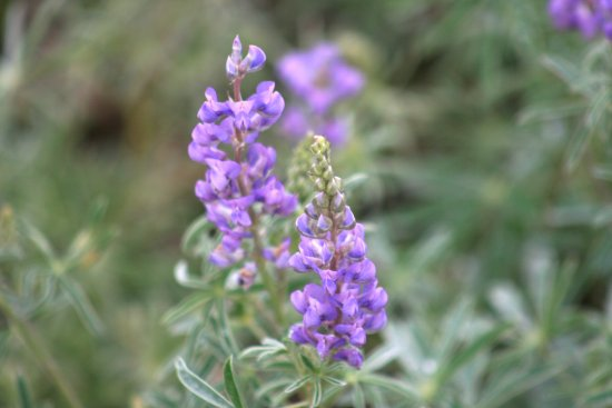 Drowsy Water Ranch: Lupine on the hillside