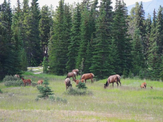 Athabasca Hotel: Elk herd just south of Jasper