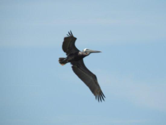 Port Aransas Nature Preserve at Charlie's Pasture : Pelican