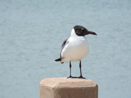 Port Aransas Nature Preserve at Charlie's Pasture : Laughing Gull