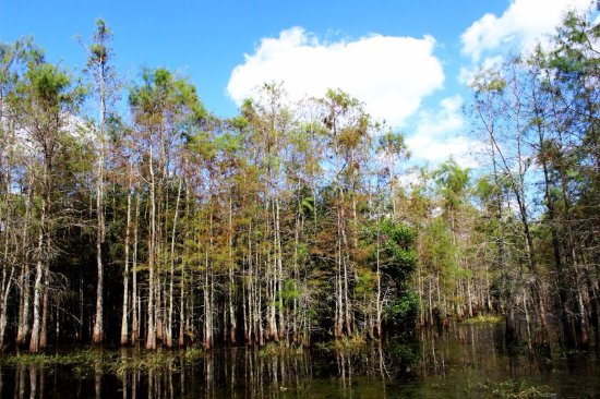 Everglades City, FL: cypress trees
