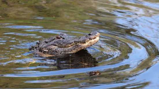 Everglades City, FL: Alligator on the lookout