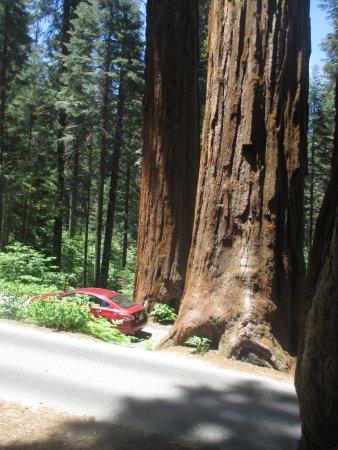 Three Rivers, كاليفورنيا: Giant Trees
