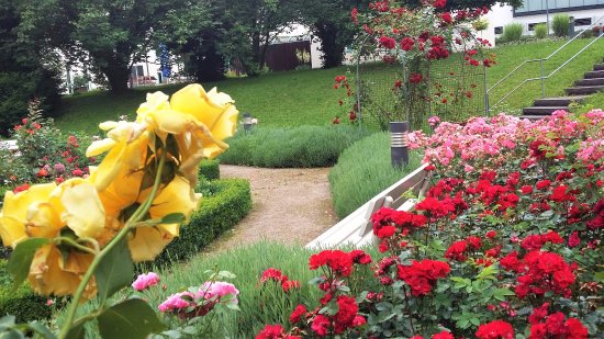 Bad Wimpfen, Tyskland: Rose Garden in June
