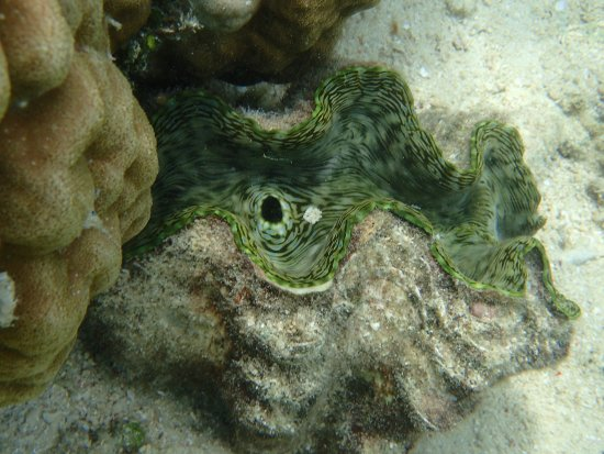 Busuanga Island, Filipina: Giant clam