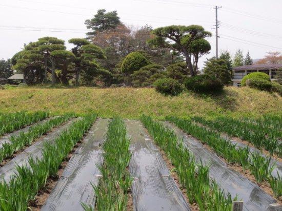 Nagai, Japon : 見頃前あやめ