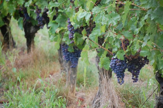 Indre, ฝรั่งเศส: Nearly ready for harvest..2015