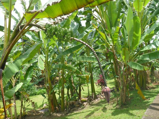 A Long Banana Blossom Plant Picture Of Banana Museum Le Musee De