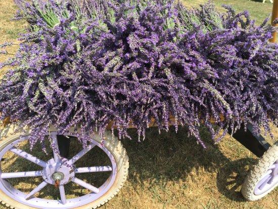 Dahlonega, Georgien: Lavender being harvested.