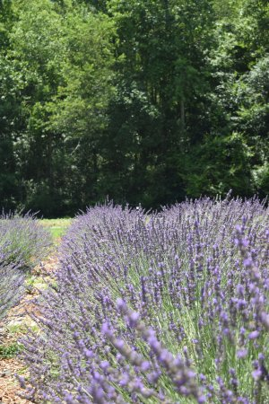 Dahlonega, Georgien: row of lavender