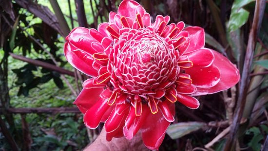 Rio Claro, Costa Rica: Gorgeous Torch Ginger