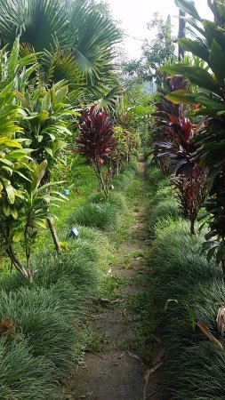 Rio Claro, Costa Rica: One of many, many rows of plants!
