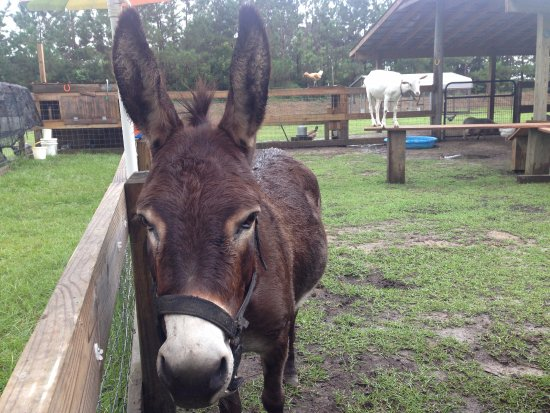 Bolivia, NC: Miley, super sweet miniature donkey