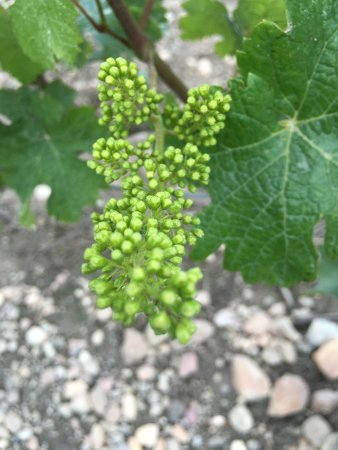 Indre, ฝรั่งเศส: Young grapes in Chinon 2016
