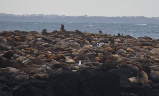 Cowes, Αυστραλία: So many seals!