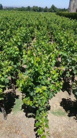 Vila Nogueira de Azeitao, Portugal: Wineyards