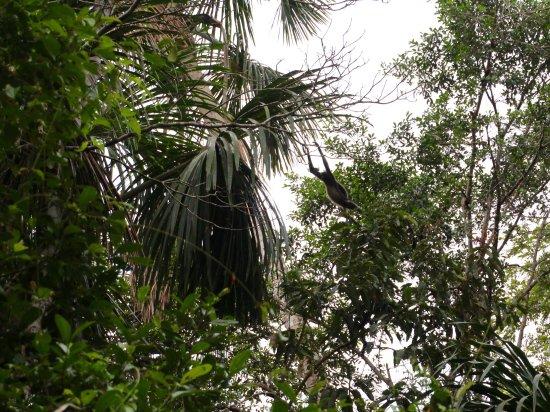 Napo Wildlife Center Ecolodge: Spider monkey