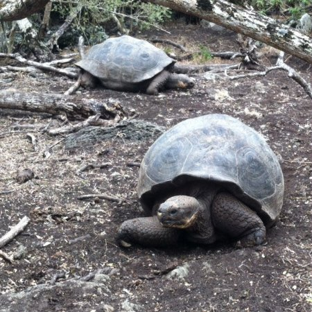 Floreana, Ekwador: Tortoises with very different shells revealing their origins on different islands