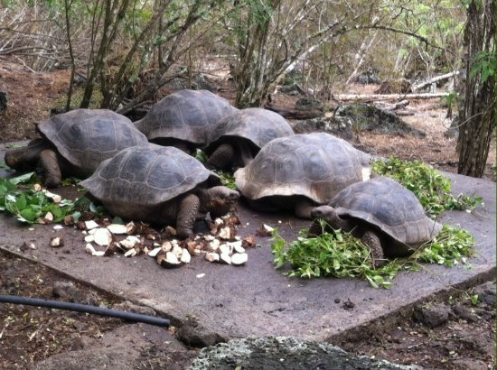 Meal time for Floreana's tortoises