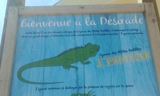 La Desirade, Guadeloupe: iguane 2
