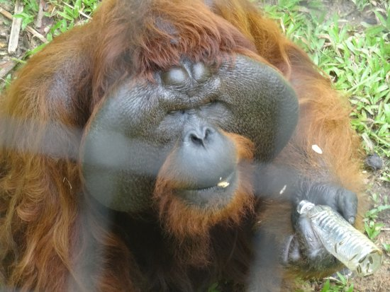 The Great Orangutan Project: Matang