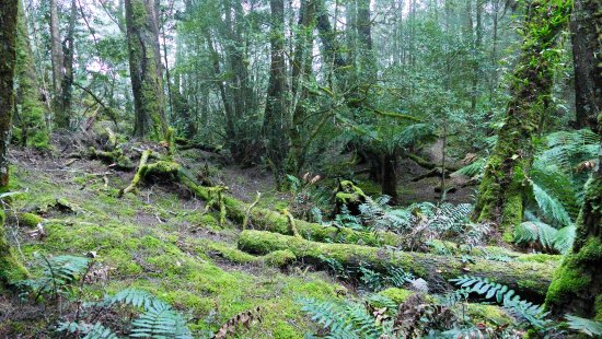 St Columba Waterfall: Moss laden forest on the track to Ralphs falls