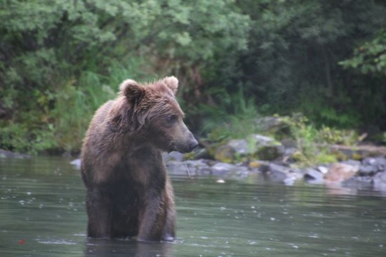 Kasilof, AK: We got to watch this brown bear try to catch a sockeye from about 25 feet away