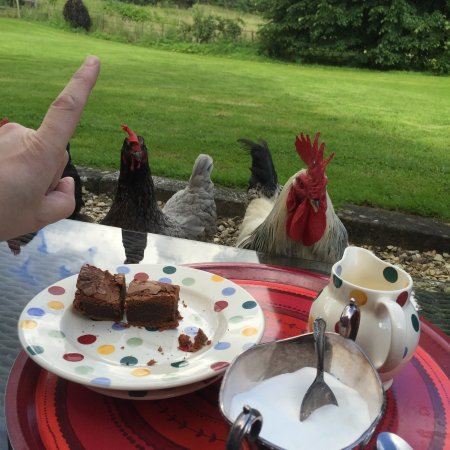 Ettington, UK: we loved our visit from the chickens...who wanted to share our chocolate brownies with us!