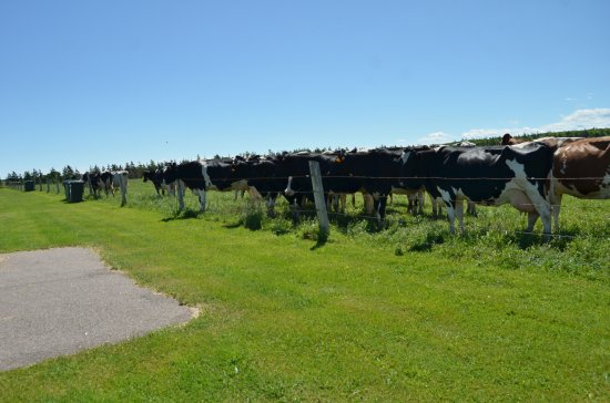 Parkview Farm Tourist Home and Cottages : The cows came to the fence behind the 2 bedroom cottages