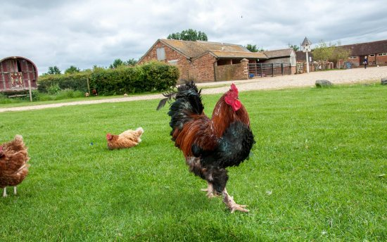 Honeybrook Farm: Free range chickens on the central green
