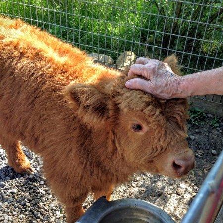 Living Treasures Wild Animal Park Baby Cow