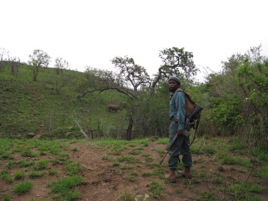 Hluhluwe, Sudáfrica: Ranger in foreground, rhinoceros in background