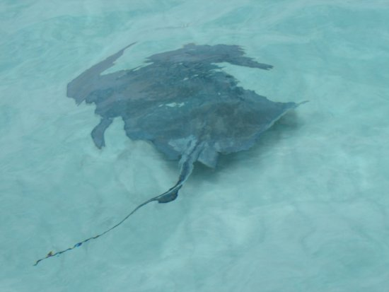 Sea Elements: Big stingrays in Stingray City!